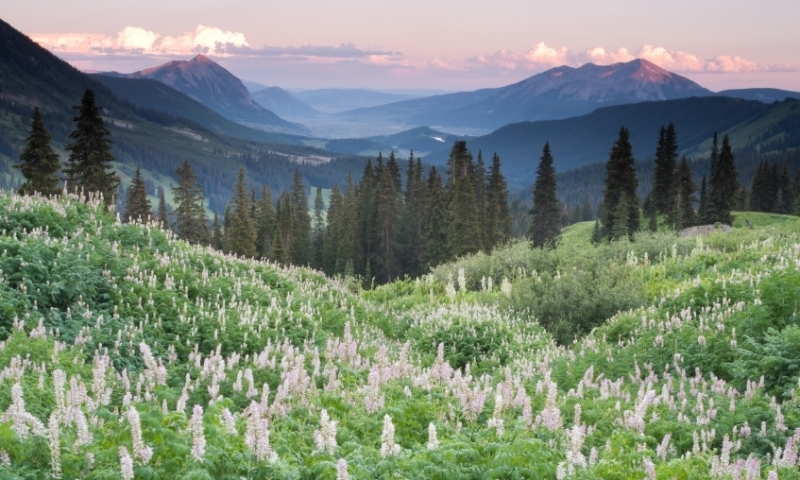 Wildflowers Fireweed Crested Butte Colorado View Rocky Mountains